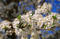 Pflaumenbaumbluete - plum blossom in spring