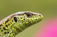 portrait of beautiful male sand lizard ( Lacerta agilis )