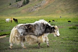 Mongolisches Yak grast auf der Weide, Mongolei