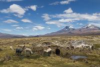 Lamas and Alpacas in Sajama National Park