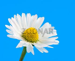 Macro of a daisy flower blossom