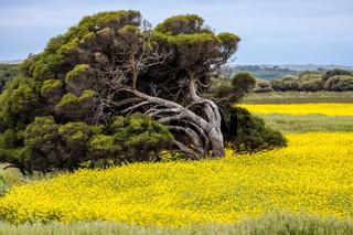 Leaning tree in a field of yellow rape, South Australia
