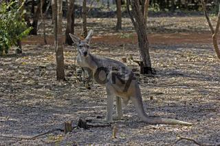 Antilopenkängeruh, Macropus antilopus,Litchfield NP, Northern Territory, Australien
