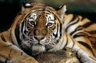 Armurtiger, Sibirischer Tiger, Panthera tigris altaica, Siberian Tiger