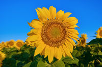 Sunflower on the Background of a Sky