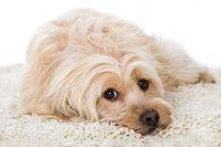Niedlicher Mischlingshund