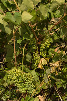 Grape vine with berries ripening under the sun in the vineyards of Sithonia Peninsula
