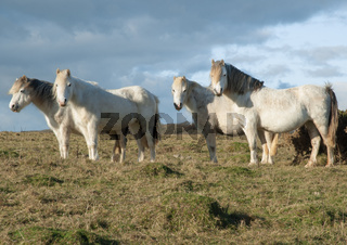Four white horses grazing in a field