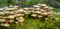 Honey fungus, Armillaria