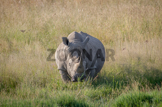Big White rhino bull standing in the grass.