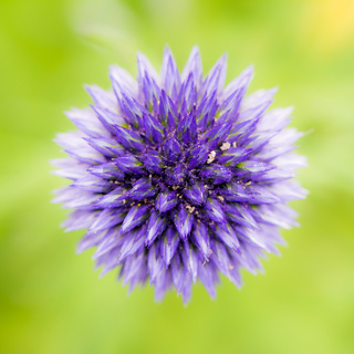 Abstract flower macro of a blue thistle