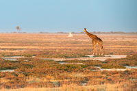 A lonely Namibian giraffe is looking at a distant termitary