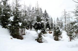 Rothirsch sitzt im Wald