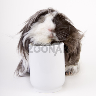 Meerschweinchen mit Tasse - guinea pig with a cup