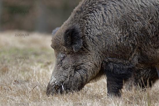 Wildschwein (Sus scrofa), Keiler, Schleswig Holstein, Deutschland, Europa