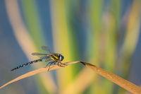 Libelle Mosaikjungfer am Teich