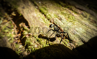 Bull ant on a rotten trunk in Costa Rica