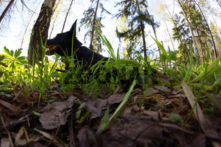 black dog lay in green grass