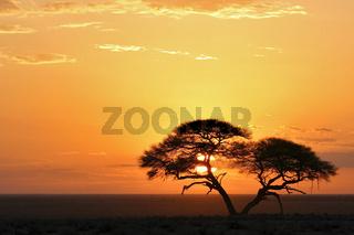 Schirmakazie, Akazie (Acacia tortilis), Sonnenaufgang, Etosha National Park, Namibia, Afrika, Umbrella Thorn Acacia at sunrise, Africa