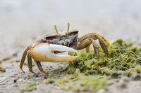 Maennliche Europaeische Winkerkrabbe, Uca tangeri, European Male Fiddler Crab