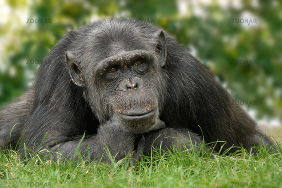 Cute chimp with reflective posture