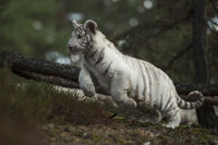 auf der Jagd... Königstiger *Panthera tigris*