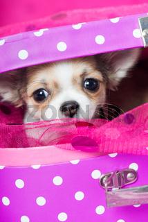 Chihuahuawelpe
