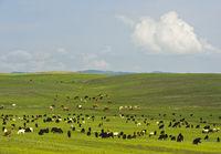 Gemischte Herde aus Ziegen und Rindern weidet in der mongolischen Steppe,Mongolei