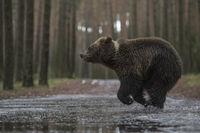 eilig unterwegs... Europäischer Braunbär *Ursus arctos*