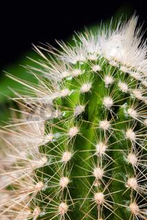 Kaktusstacheln