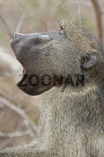 Pavian, gähnend, Südafrika