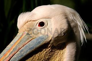 White pelican portrait