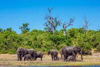The elephants at the watering