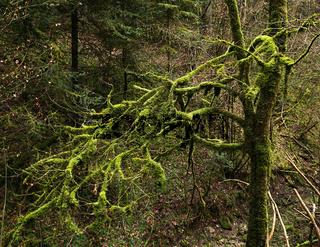 Moosbaum; bemooster Baum;