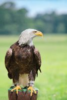 Bald eagle horizontal profile