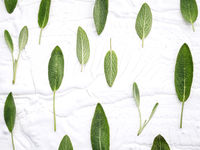 Closeup  fresh sage leaves on white wooden background . Alternative medicine fresh salvia officinalis with flat lay.