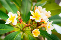 Plumeria yellow and white frangipani tropical spa flower
