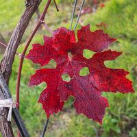 Weinlaub rot im Weingarten im Herbst