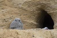 allein... Europäischer Uhu *Bubo bubo*, Jungvogel, Nestling am Nistplatz