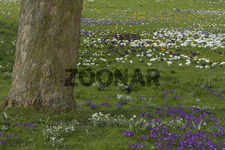 Krokusse, Crocus sativus, Crocus