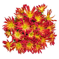 fall mums isolated on white