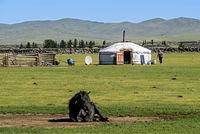 Weidende Mongolische Pferde in der Nähe einer Jurte (ger)
