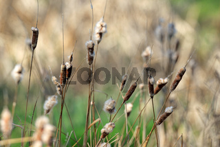 Reed plant near lake
