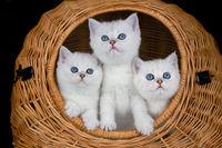 Three white kittens in reed basket