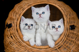 Three white kittens in reed basket