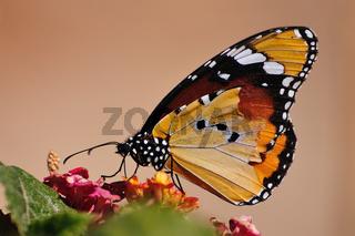 Afrikanischer Monarchfalter (Danaus chriysippus)