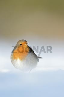 im tiefen Schnee... Rotkehlchen *Erithacus rubecula*