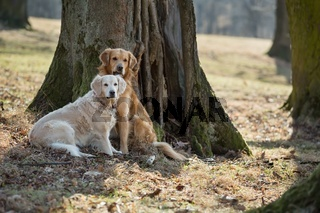 Two golden retriever on park