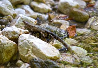 Waldeidechse im Königstein-Gebirge, Klamm, Karpaten, Rumänien