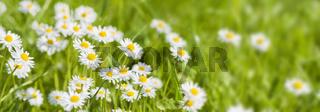 Panorama von Blumenwiese frischem Gras